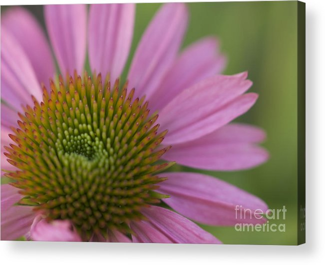 Echinacea Acrylic Print featuring the photograph Pretty In Pink by Cheryl Butler