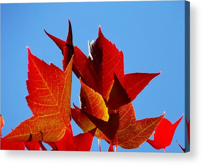 Red Acrylic Print featuring the photograph Boldly Beautiful by Cindy Marcotte