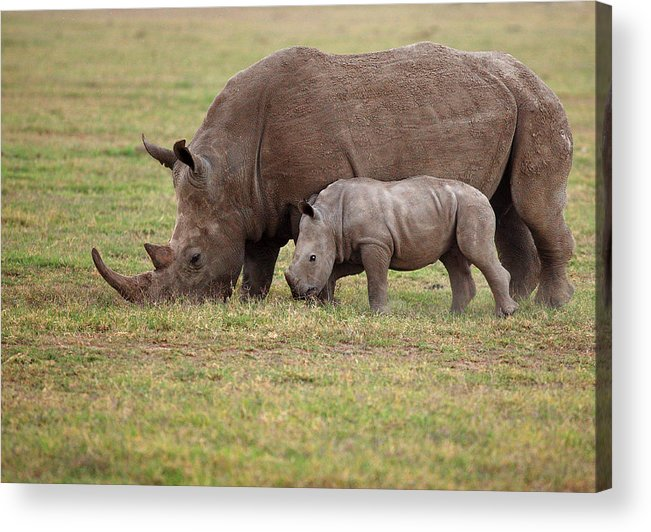 Horizontal Acrylic Print featuring the photograph White Rhinocero Grazing Side By Side by Achim Mittler, Frankfurt am Main