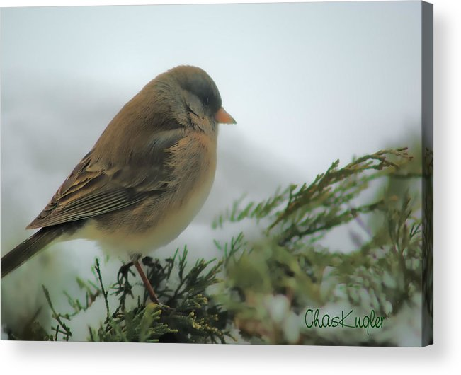Bird Acrylic Print featuring the photograph Weathering The Storm by Chuck Kugler