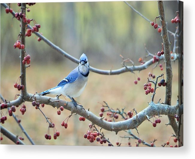 Spring Acrylic Print featuring the photograph Blue Jay Poses In Crab Apple Tree by Lena Hatch