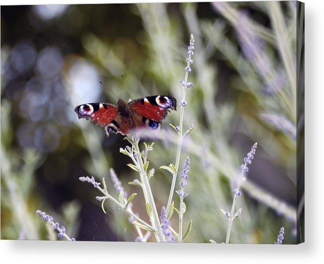Photo Acrylic Print featuring the photograph Butterfly On Lavender by Mirinda Kossoff