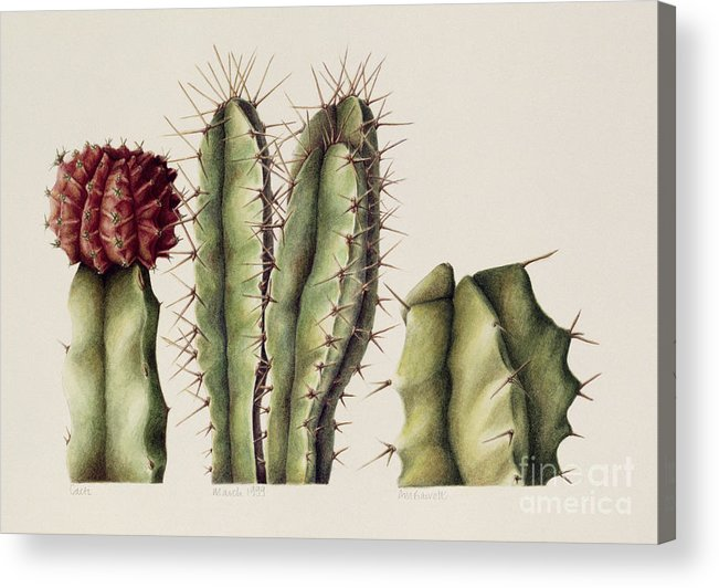 Botanical Acrylic Print featuring the painting Cacti by Annabel Barrett
