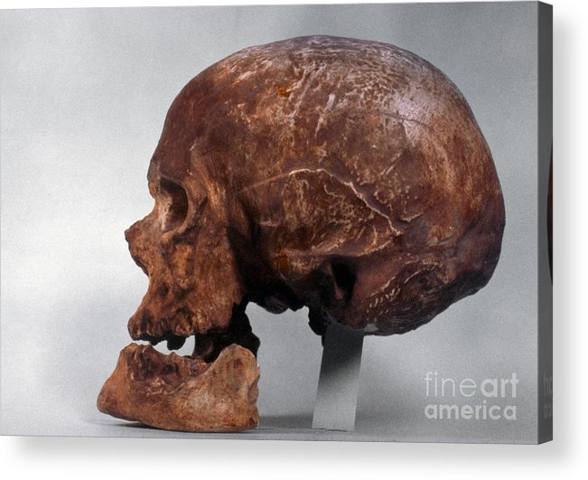 Artifact Acrylic Print featuring the photograph Cro-magnon Skull by Granger