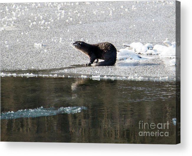 River Otter Acrylic Print featuring the photograph Frosty River Otter by Mike Dawson