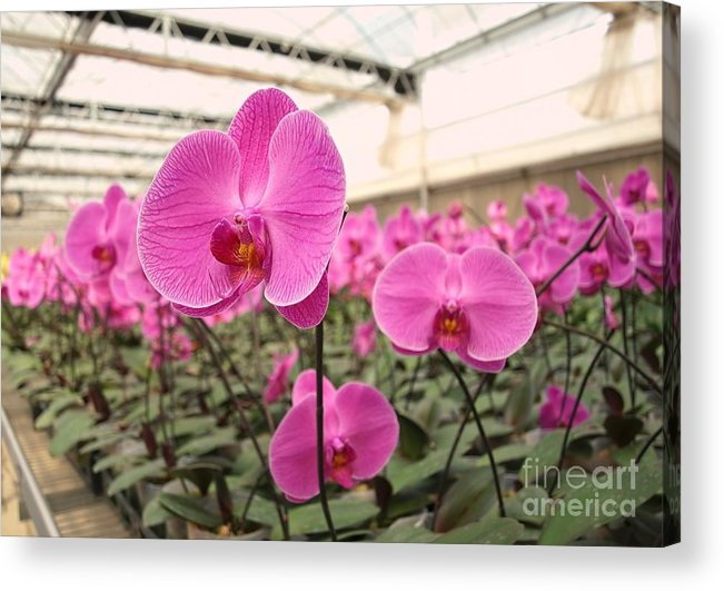 Orchid Acrylic Print featuring the photograph Large Orchid Nursery by Yali Shi