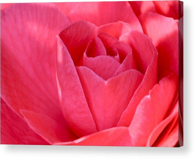 Pink Acrylic Print featuring the photograph Rose Camellia by Lori Kesten