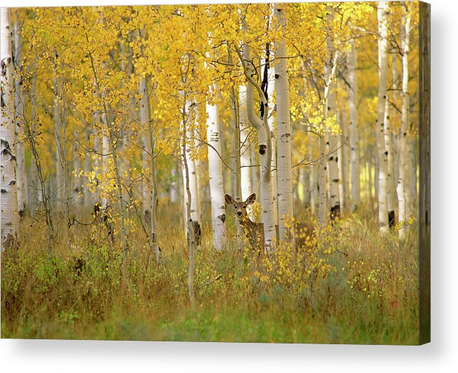 Vertebrate Acrylic Print featuring the photograph Autumn In Uinta National Forest. A Deer by Mint Images - David Schultz