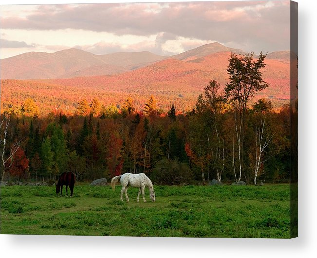 Horse Acrylic Print featuring the photograph Horses Grazing During The New England by Myloupe/uig