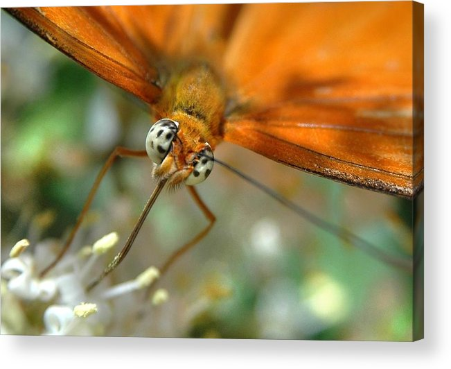 Butterfly Acrylic Print featuring the photograph Eyes Wide Open by Dan Holm