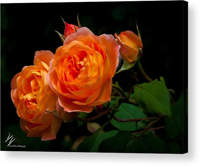 Orange Roses Rose Flowers Color Nature Green Leaves Spring Blume Acrylic Print featuring the photograph A Bit Of Orange by David Delisio