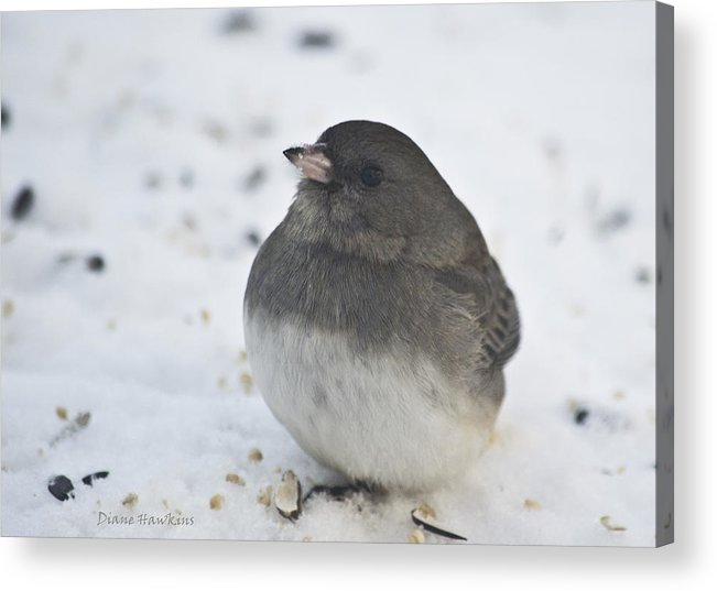Birds Animals Nature Outdoors Winter Acrylic Print featuring the photograph A Junco by Diane Hawkins