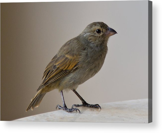 Bird Acrylic Print featuring the photograph Barbados Bullfinch by Keith Folwell