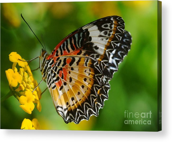 Nature Acrylic Print featuring the photograph Leopard Lacewing by Rudi Prott