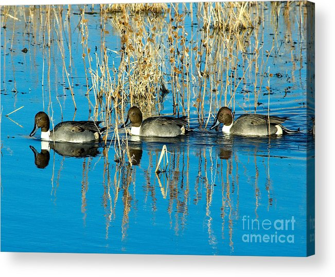 Ducks Swimming In A Row In A Lake In New Mexico. Acrylic Print featuring the photograph Ducks In A Row by Mae Wertz