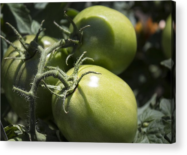 Tomatoes Acrylic Print featuring the photograph Garden Green by Bailey Barry