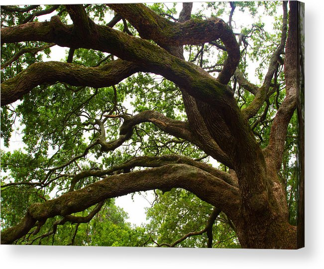 Barataria Acrylic Print featuring the photograph Gnarly Oak by JP Lawrence