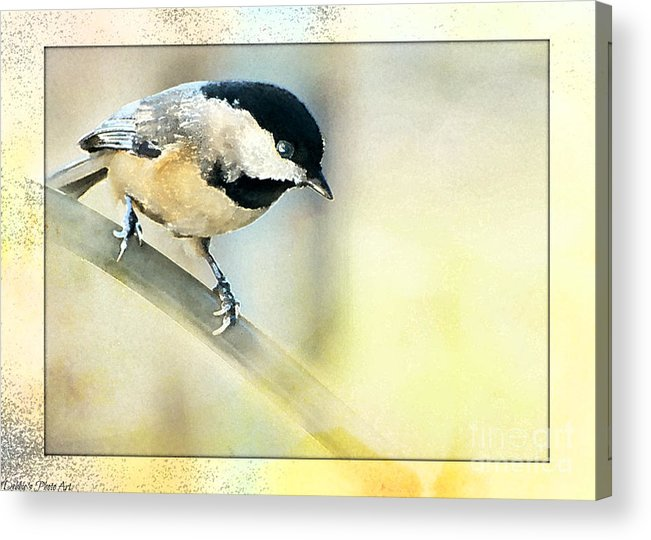 Nature Acrylic Print featuring the photograph Golden Morning Chickadee Photo Art by Debbie Portwood