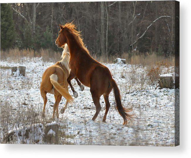 Paul Lyndon Phillips Acrylic Print featuring the photograph Horses At Play - 10dec5690b by Paul Lyndon Phillips
