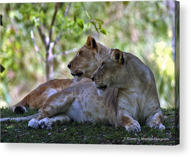 Lioness Acrylic Print featuring the photograph I Like It When He Strokes His Mane Like That. Really Turns Me On by Winston D Munnings