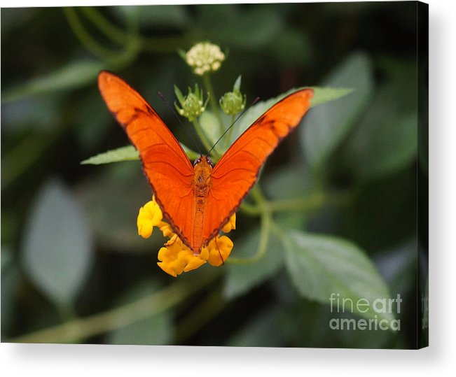 Nature Acrylic Print featuring the photograph Julia Butterfly 1 by Rudi Prott