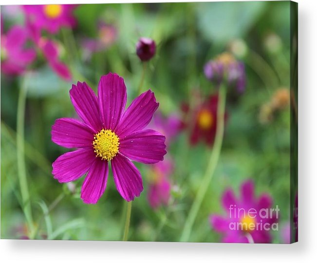 Cosmos Acrylic Print featuring the photograph Lost In The Garden by Carol Groenen