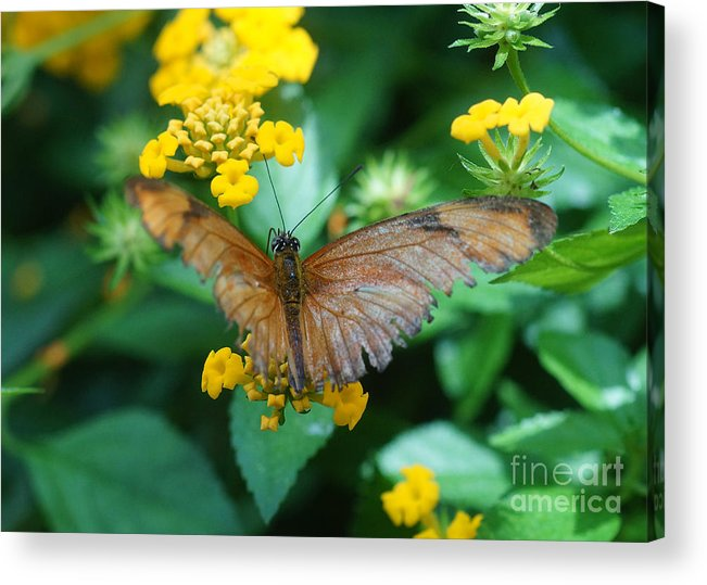 Nature Acrylic Print featuring the photograph Old Butterfly by Rudi Prott