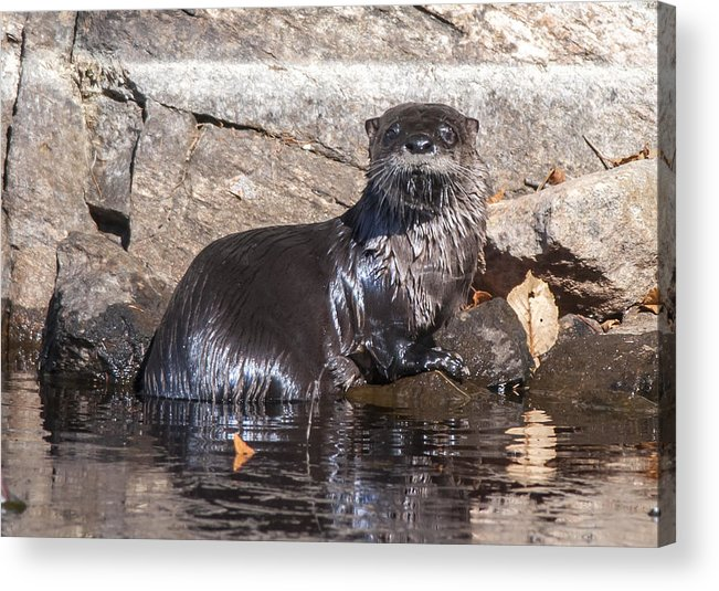 Otter Acrylic Print featuring the photograph Otter Posing by Richard Kitchen