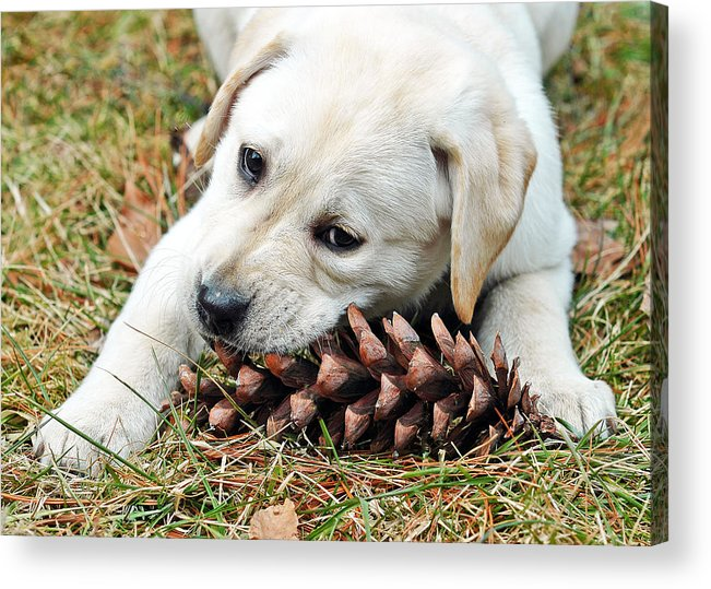 Animals Acrylic Print featuring the photograph Puppy With Pine Cone by Lisa Phillips