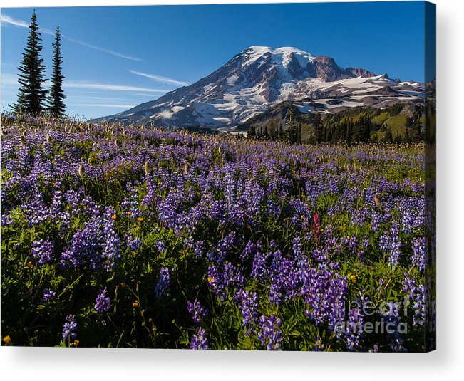 Rainier Acrylic Print featuring the photograph Purple Fields Forever And Ever by Mike Reid