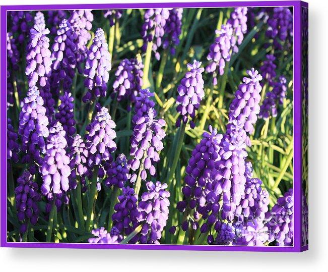 Grape Hyacinth Acrylic Print featuring the photograph Purple Grape Hyacinth by Carol Groenen