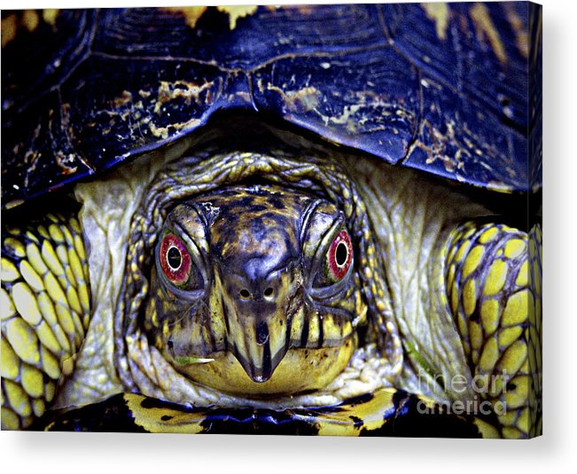 Animals Acrylic Print featuring the photograph Red Eyed Turtle by Paul W Faust - Impressions of Light