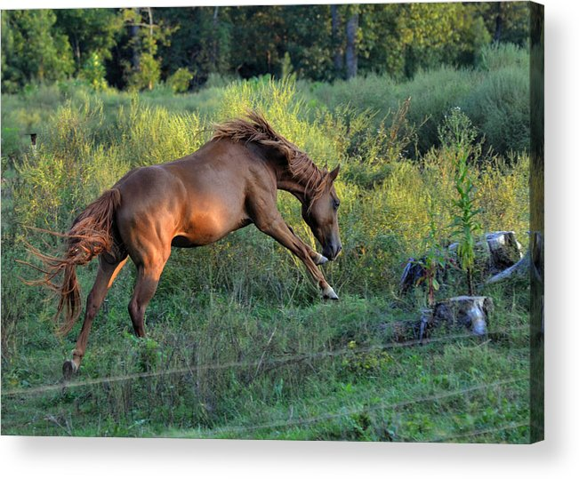 Paul Lyndon Phillips Acrylic Print featuring the photograph Sandy The Roan Cavorting - C0094e by Paul Lyndon Phillips