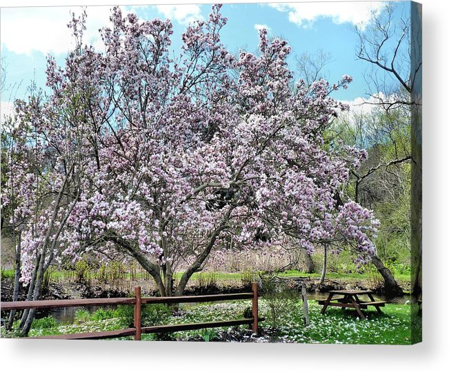Pink Magnolia Tree Acrylic Print featuring the photograph Spring Picnic by Janice Drew