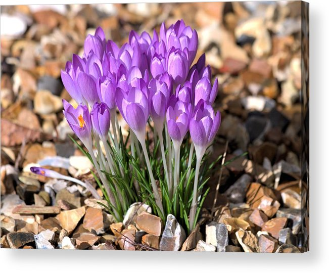 Spring Flowers Acrylic Print featuring the photograph Springflowers by Gordon Auld