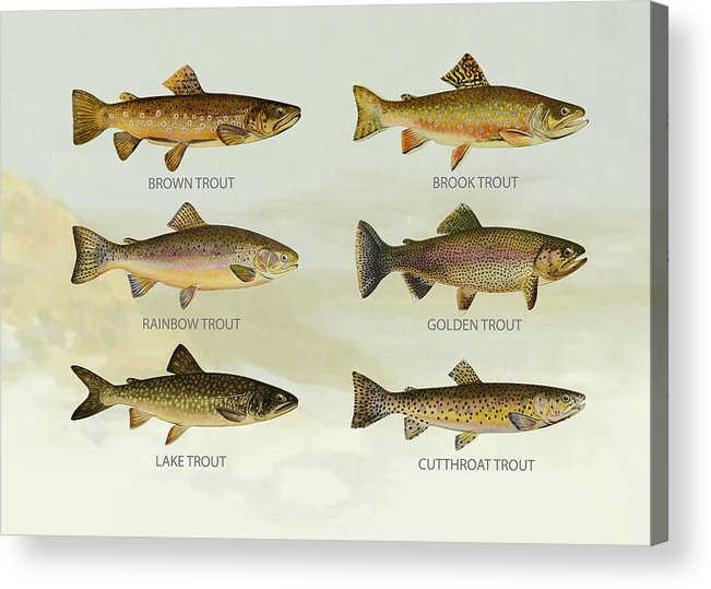Lake Trout Acrylic Print featuring the digital art Trout Species by Aged Pixel