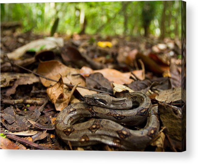 Animals Acrylic Print featuring the photograph Young Boa Constrictor by JP Lawrence