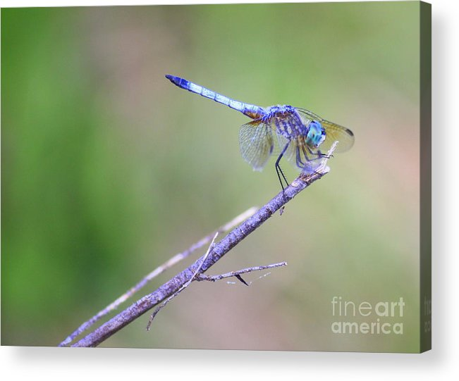 Dragonfly Acrylic Print featuring the photograph Living On The Edge by Carol Groenen