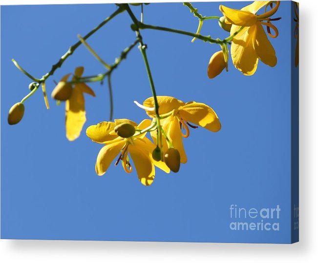 Cassia Acrylic Print featuring the photograph Yellow And Blue by Theresa Willingham