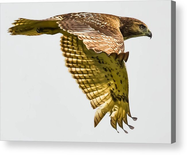 Acrylic Print featuring the photograph Red-tailed Hawk by Brian Stevens