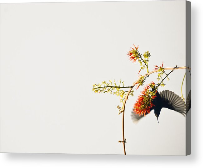Flutter And Feast Acrylic Print