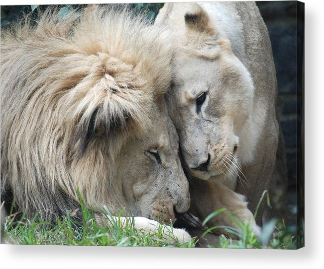 Lion Acrylic Print featuring the photograph Love Your Mate by Kathy Gibbons