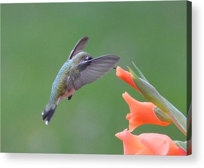 Hummingbird Acrylic Print featuring the photograph Lunch Time by Judd Nathan
