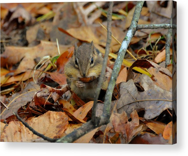 Paul Lyndon Phillips Acrylic Print featuring the photograph Mouth Full Chipmunk - C3029d by Paul Lyndon Phillips