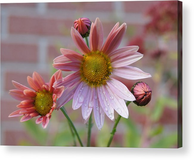 Chrysanthemum Acrylic Print featuring the photograph Mum Drops by Robert E Alter Reflections of Infinity LLC