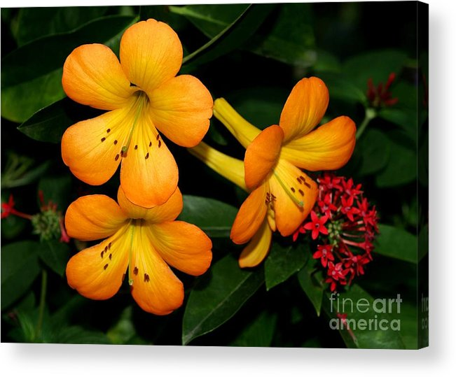 Rhododendron Acrylic Print featuring the photograph Orange Rhododendron Flowers by Sabrina L Ryan