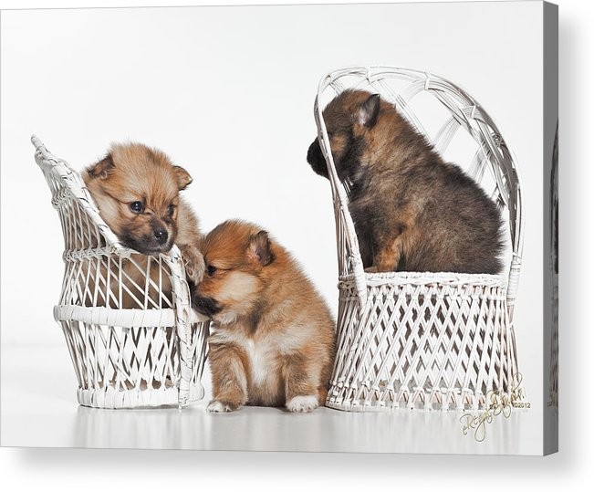 Puppies Acrylic Print featuring the photograph Pomeranian 3 by Everet Regal