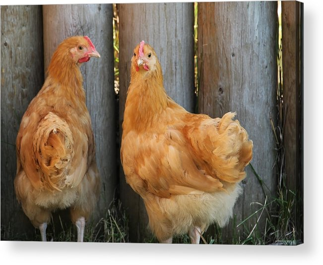 Agriculture Acrylic Print featuring the photograph Rhode Island Red by Kim French