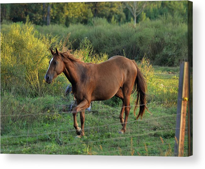 Paul Lyndon Phillips Acrylic Print featuring the photograph Sandy The Roan - C0058b by Paul Lyndon Phillips