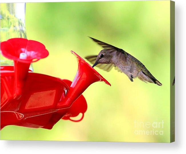 Hummingbird Acrylic Print featuring the photograph Summer Fun Hummingbird by Carol Groenen
